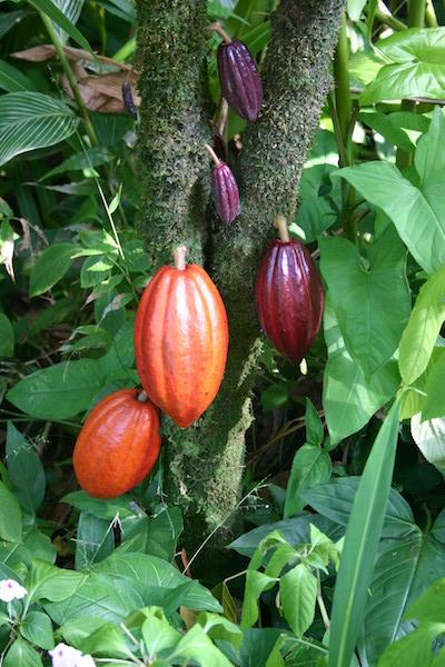 Cabosses sur un cacaoyer©