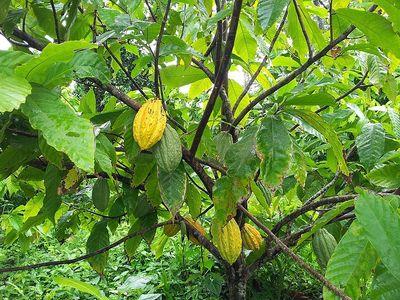 cabosses de cacao jaune©