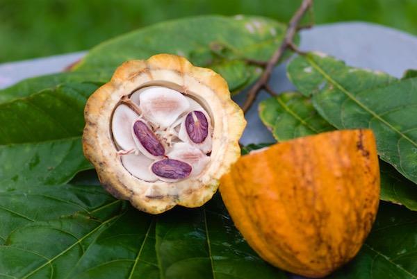 Cabosse de cacao©Syndicat du Chocolat - I-stock