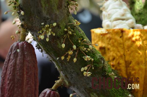La plante (cacaoyer)