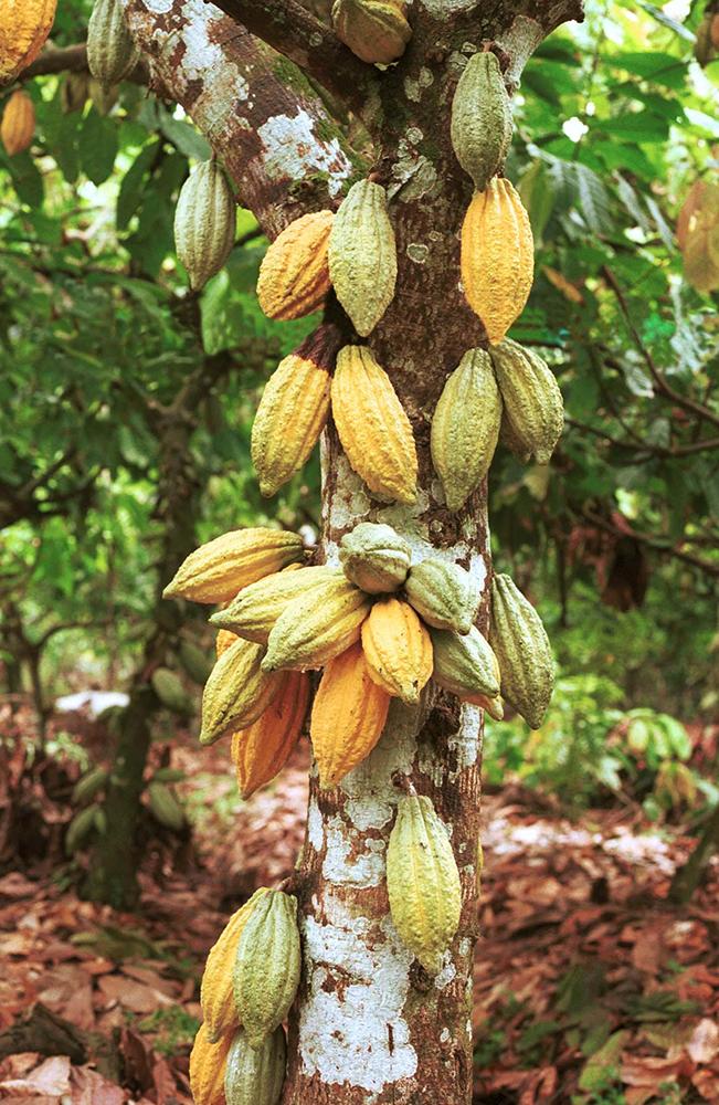 Cacaoyer à cabosses jaunes Divine Chocolate©