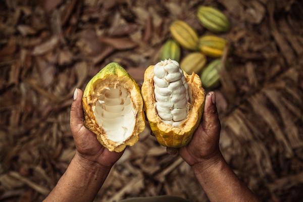 Fèves de cacao dans une cabosse Meybol©