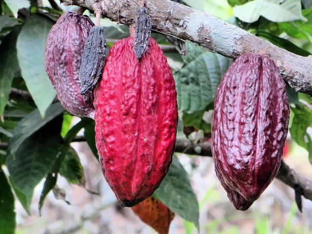 Cabosses de cacao©