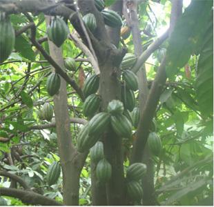 Les joyaux péruviens du cacao