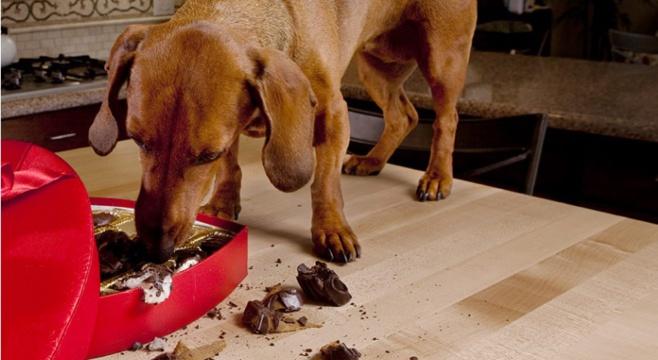 L'intoxication par le chocolat chez le chien