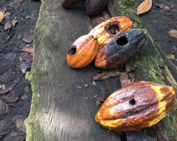 maladies dans les cacaoyers