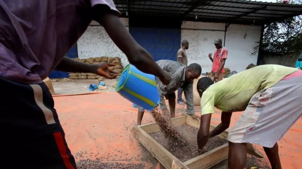 triage fève de cacao