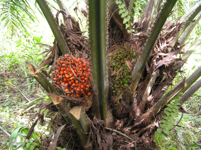 Fruits du palmier utilisés pour l'huile de palme©