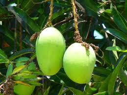 Mangues vertes dans un manguier©