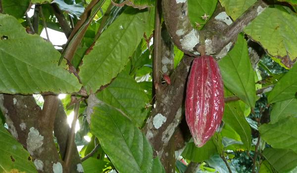 © ChocoClic SR - cacao Martinique