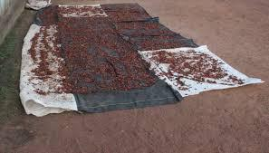 Fèves de cacao en séchage