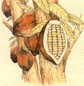 Illustration d'un cacaoyer©