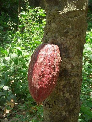 Fève de cacao à Chuao