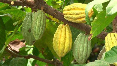 Les liens de Christophe Colomb avec le cacao
