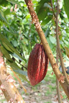 Cabosse sur cacaoyer