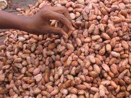 La biodiversité de 10 000 plantations de cacao du Ghana bientôt cartographiée.