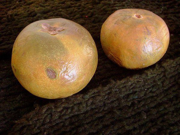 Le Fruit du Lucuma©