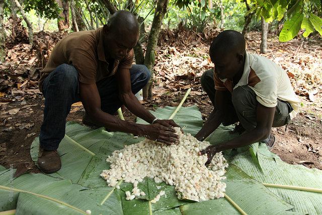 La récolte du cacao en Côte d'Ivoire© Barry Callebaut