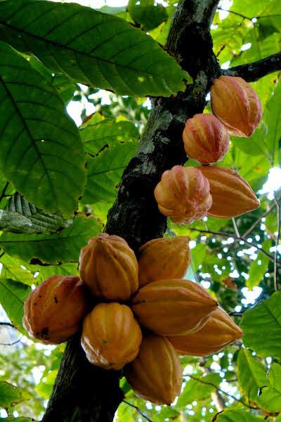 Cabosses dans un cacaoyer©ChocoClic