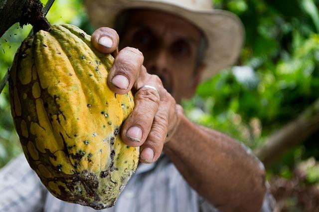 Un agriculteur cueille une cabosse de cacao©ChocoClic