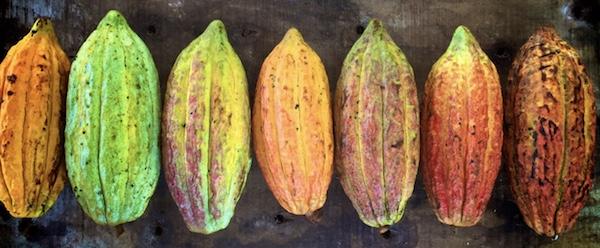 Cabosses©Uncommon Cacao(2)