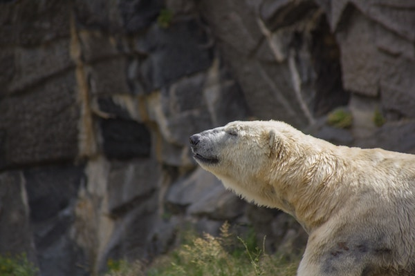 Ours Blanc©