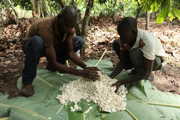 Barry Callebaut - Fèves de cacao fraîches