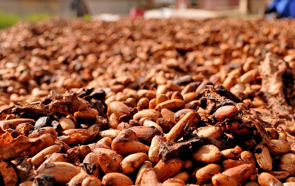 fèves de cacao séchés
