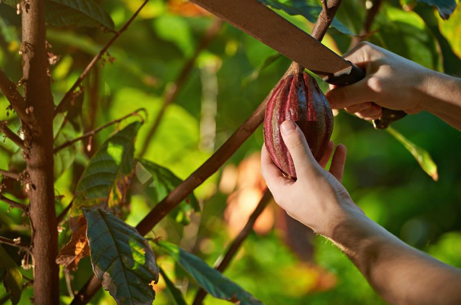 Le changement climatique affecte la production de cacao et chocolat