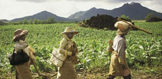 Femmes marchant dans un champ sur l'île Maurice le 9 février 2008