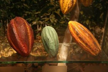 CIRAD 2015 : Formation sur l'analyse sensorielle des cacaos et des chocolats