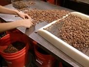 Triage des fèves de cacao