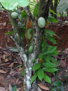 Fruit de cacao en Côte_d'Ivoire© by Hanay
