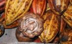Le statut des producteurs de cacao en Côte d'Ivoire