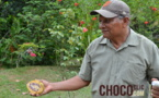 Cabosses de cacao sur un arbre©