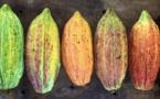 Redonner vie au cacao colombien avec Uncommon Cacao