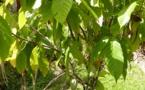 Cémoi transparence, une intervention cohérente dans la filière cacao