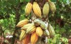 Cacao haïtien, un cacao d'exception