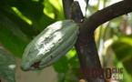 La plantation cacao : Vila Gracinda