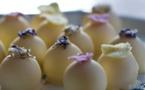 Truffes avec une ganache au chocolat blanc par Sabine Dubenkropp©