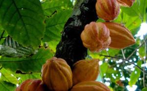 CCN51, le cacao super productif