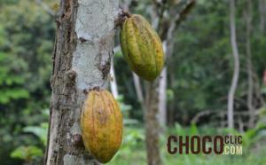 Les cacaoyers cultivés