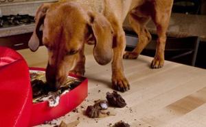 Pourquoi le chocolat noir est MORTEL pour le chien