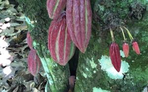La plantation cacao : Los Anconès