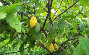 Le Cacao Guiana (Cacaoyer)