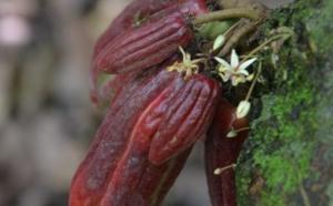 La provenance des fèves de cacao du Pérou