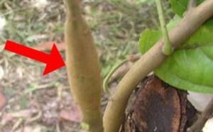 Swollen Shoot : la menace pèse sur les cacaoyères ivoiriennes