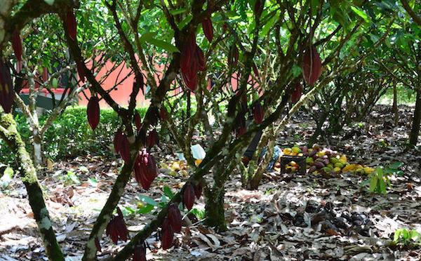 Les conditions de culture du cacao