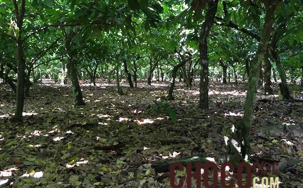 Etablissement d'une plantation de cacaoyer