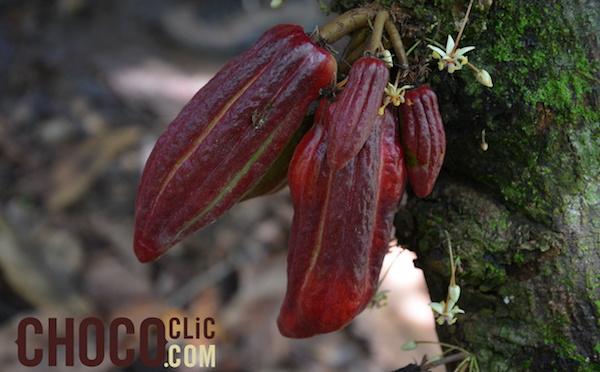 La récolte du cacao